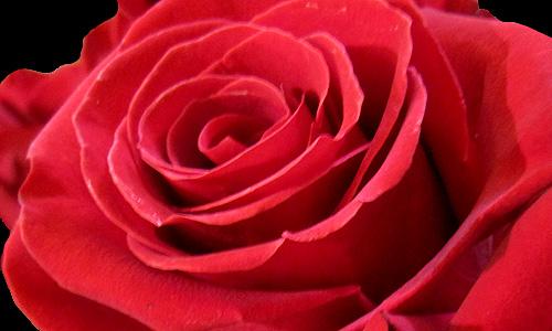 Rosa per Sant Jordi